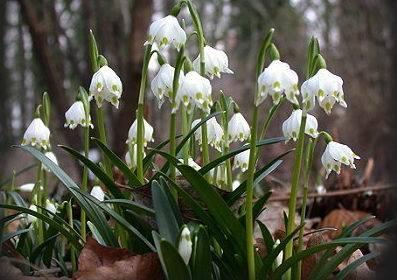 Märzenbecherblüte im Kolbinger Hintelestal